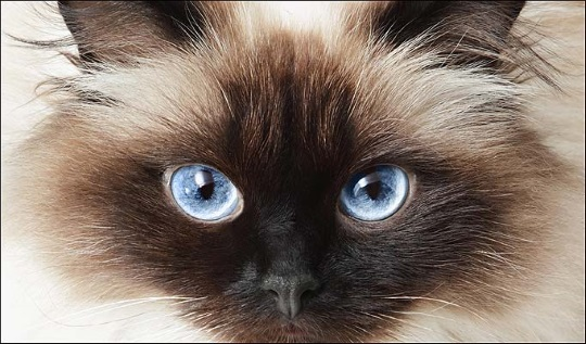 How To Treat A Cats Weeping Eye